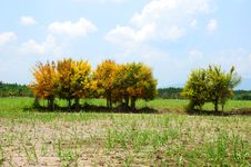 Free Yellow Tree Royalty Free Stock Image - 13973406