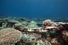 Table Coral In The Red Sea Stock Photos