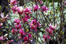 Free Bush Magnolia Stock Images - 13974234