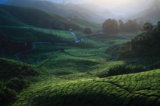 Free Tea Plantation Royalty Free Stock Photo - 13974275