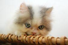 Free Persian Kitten Stock Photos - 13974663