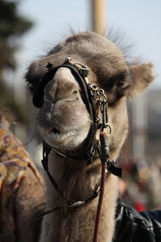 Free Camel Muzzle Royalty Free Stock Photo - 13974675
