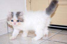 Free Persian Kitten Royalty Free Stock Photo - 13974745