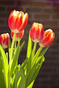 Tulip Bouquet In Sunlight