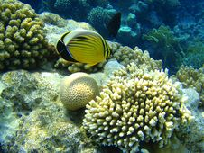 Free Fishes Of Red Sea Royalty Free Stock Image - 13975356