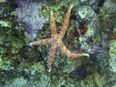 Free Starfish Of Red Sea Stock Image - 13975601