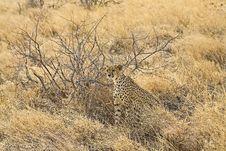 Young Cheetah Stock Photos