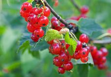 Free Red Currant Royalty Free Stock Photography - 13976197