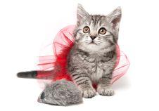 Isolated Grey Kitten Royalty Free Stock Photos
