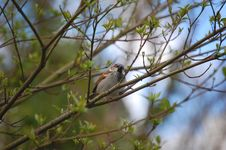 Free Beautiful Sparrow On A Tree Stock Photography - 13976452