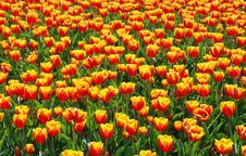 Free Tulips Royalty Free Stock Image - 13977116