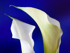 Free White Calla Blooms Royalty Free Stock Image - 13977966