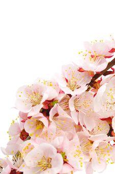 Free Apricot Royalty Free Stock Image - 13978516
