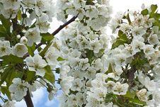Free Heavenly White Cherry Tree Flowers Stock Photo - 13978560