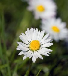 Chamomile In The Field ,close Up Royalty Free Stock Photography