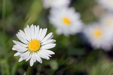Chamomile In The Field ,close Up Royalty Free Stock Images
