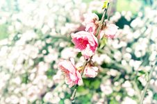 Free Spring Cherry Blossoms Macro Stock Image - 13978861