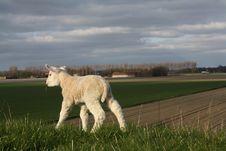 Free Lamb On Dike Stock Photo - 13979160