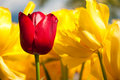 Free Red And Yellow Tulips. Royalty Free Stock Images - 13989869