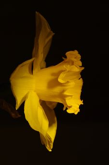 Free Close Up Of A Daffodil Royalty Free Stock Images - 13981079