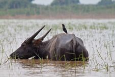 Buffalo And Myna Royalty Free Stock Images