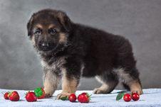 Free Puppy Portrait Of German Shepherd Dog Stock Photo - 13981590