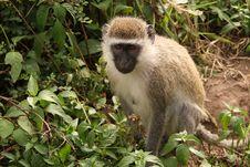 Free Monkey Stock Image - 13981741
