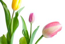 Free Tulips Stock Photo - 13981940