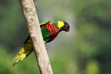 Free Rainbow Lorikeet,West Australia Stock Photography - 13982572
