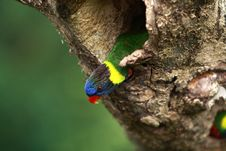 Free Rainbow Lorikeet,West Australia Royalty Free Stock Photography - 13982627