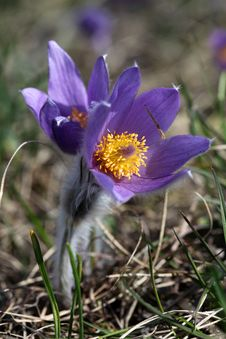 Spring Flowers Of Pulsatilla Royalty Free Stock Photos