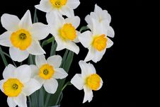 Free Narcissus Stock Image - 13985071