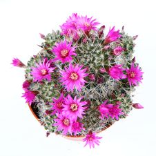 Free Blooming Cactus Plant Stock Image - 13985411