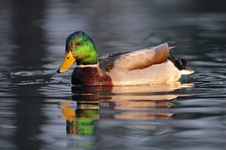Free Duck - Male Stock Photography - 13985482