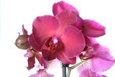 Free Orchid Flowers Stock Image - 13985661