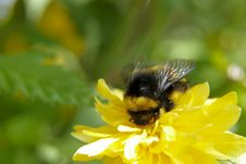 Free Bumble Bee Stock Photography - 13985772