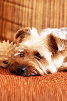 Free Yorkshire Terrier Stock Photos - 13986193