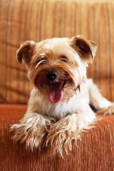 Free Yorkshire Terrier Stock Photography - 13986222