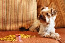 Free Yorkshire Terrier Royalty Free Stock Photos - 13986248