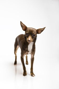 Funny Curious Toy Terrier Dog Looking Up