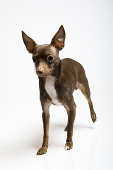Free Funny Curious Toy Terrier Dog Looking Up Stock Images - 13986454