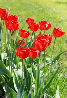 Spring Field With Tulips Stock Image