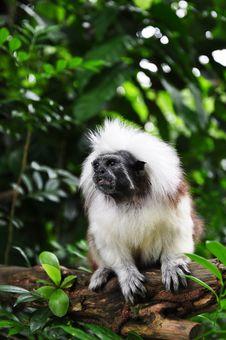 Free Cotton Head Tamarin Monkey On Tree Stock Photos - 13987803