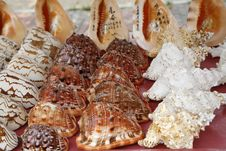 Free Conch Stock Photo - 13987810