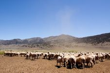 Sheep Herding Stock Image