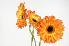 Free Three Gerbera Stock Image - 13989421