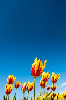 Free Red And Yellow Tulips. Stock Photo - 13989860