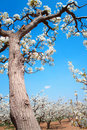 Free Spring Pear Orchard Royalty Free Stock Photos - 13992108