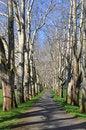 Free Parkway Of Plane Tree Stock Photo - 13994020