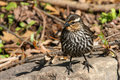 Free Red-winged Blackbird Female Royalty Free Stock Images - 13995169